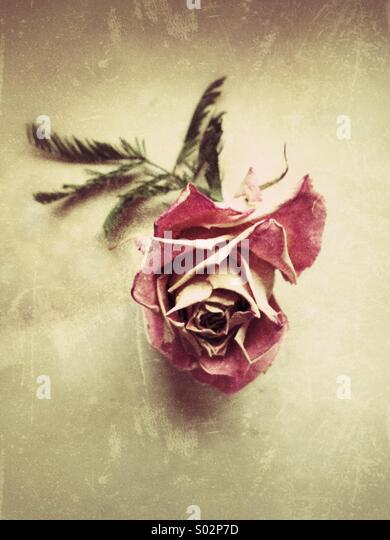 Antique Rosé - Stock Image