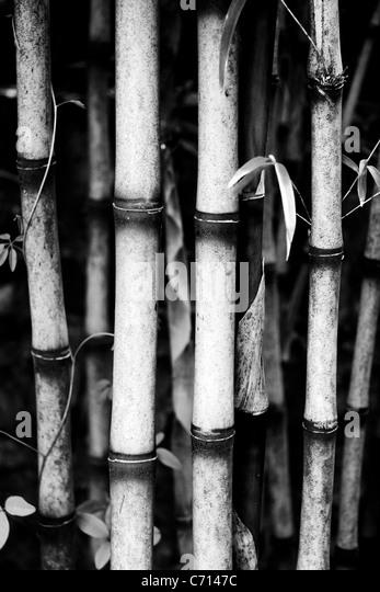 Bambusa, Bamboo canes, Black & white, - Stock Image