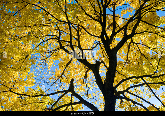 Looking up at tree leaves and autumn foliage in fall season. - Stock Image