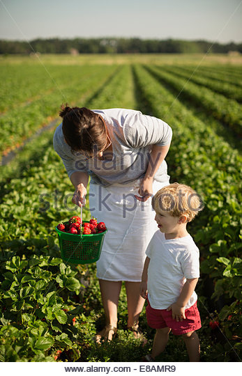Mother and toddler son picking ripe strawberries in strawberry field - Stock Image