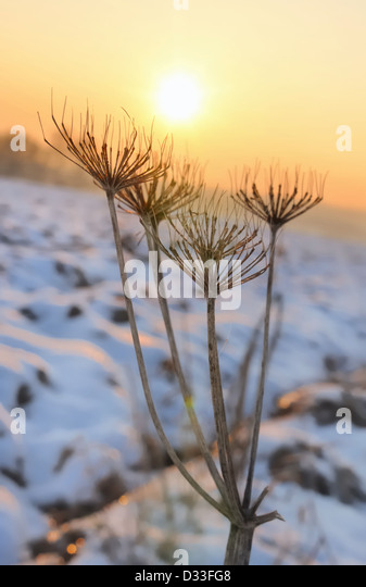 frail figure of a wild parsnip winter detaching a sunny sky at dusk - Stock Image