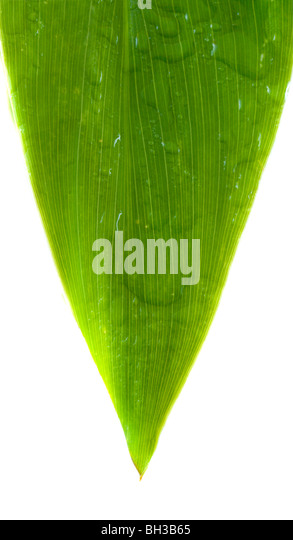 leaf . Isolation on white - Stock Image