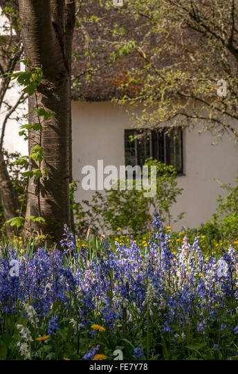 bluebells in front of cottage - Stock-Bilder