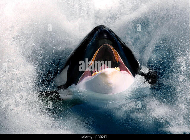 orca, great killer whale, grampus (Orcinus orca), hesd with open mouth looking out of the sea - Stock Image