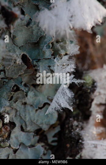 Frost is covering birch bark on a cold winter day, - Stock Image