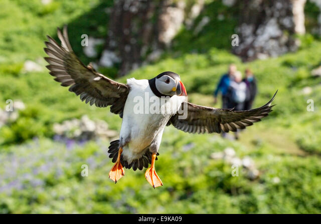 Atlantic puffin (Fratercula arctica) lands on a cliff top as a group of tourists approaches in the distance - Stock Image