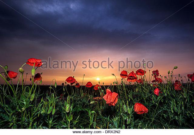 Poppy field, Banovo Polje, Serbia - Stock Image