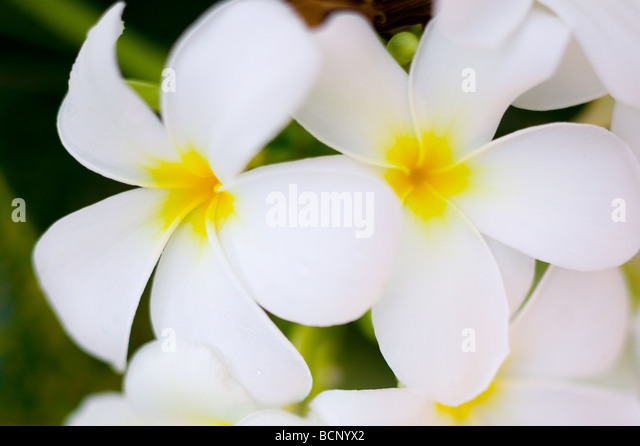Two frangipani blooms - Stock Image