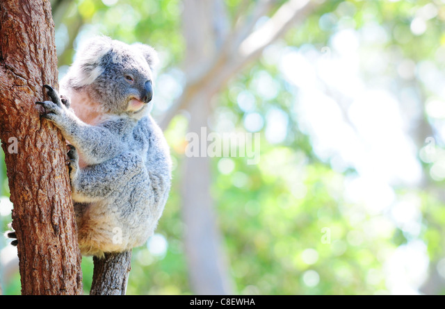 Cute Australian koala in its natural habitat - Stock Image