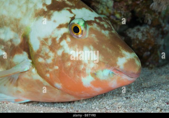Parrotfish sleeps at Night Scarus Marsa Alam Red Sea Egypt - Stock Image