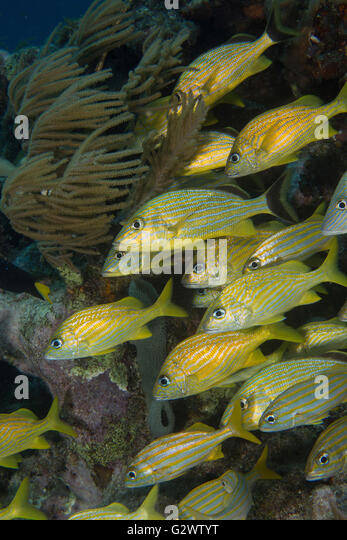 Blue stripe, French, and Smallmouth grunts linger near the protection of a coral ledge. - Stock-Bilder
