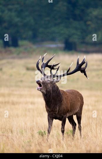Red Deer (Cervus Elaphus) stag roaring, UK - Stock Image