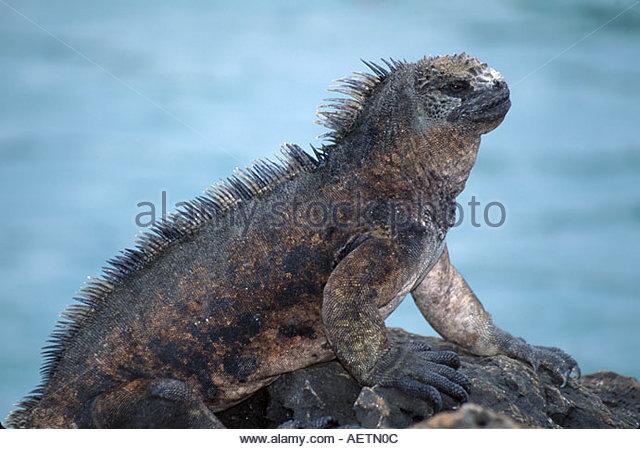 Ecuador Galapagos Islands Santa Cruz Island Puerto Ayora marine iguana resting rock - Stock Image