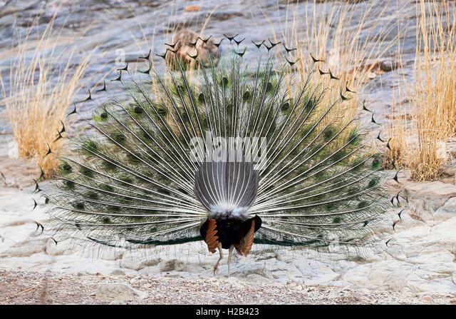 Blauer Pfau (Pavo cristatus) - Rückenansicht - im Ranthambhore-Tigerreservat, Rajasthan, Indien. - Stock-Bilder