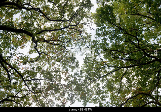 Summer sky filters through the old boughs and green foliage of oak trees in the ancient forest of Sydenham Wood - Stock Image