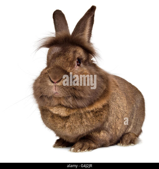 Brown and white lionhead rabbit - photo#54