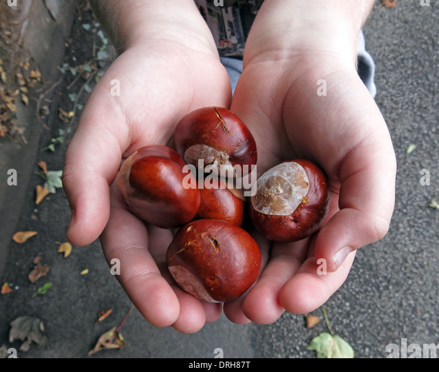 Childs hands holding conkers ( Horse Chestnuts ) - Stock Image