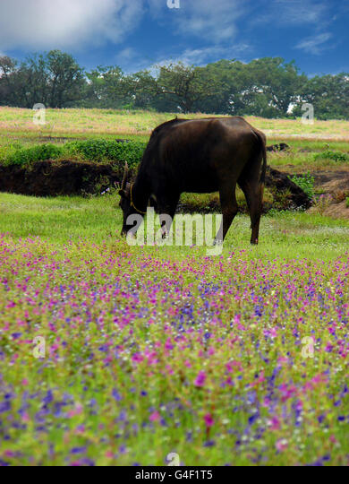 Grazing in the flowers - Stock Image