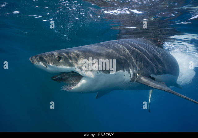 Side view of a Great white shark (Carcharodon carcharias), South Australia - Stock-Bilder