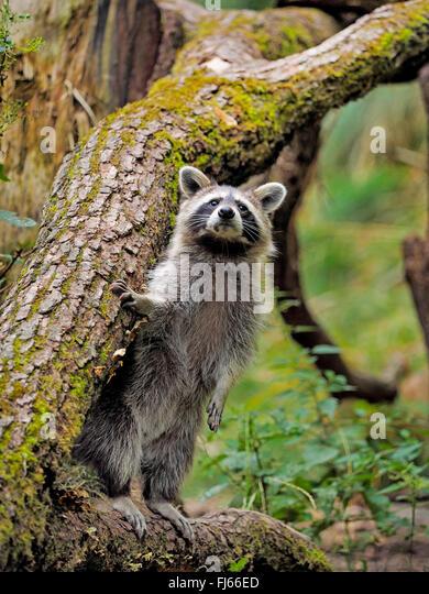common raccoon (Procyon lotor), peering, Germany, Bavaria - Stock Image