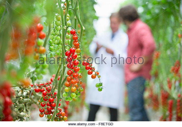 Tomatoes ripening on vine - Stock Image