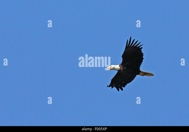 American bald eagle (Haliaeetus leucocephalus), flying at the blue sky and calling, Canada, Vancouver Island - Stock Image