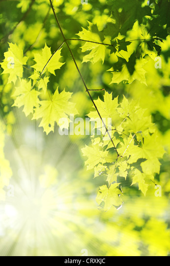 new Green and yellow maple leaf and sun ray - Stock Image