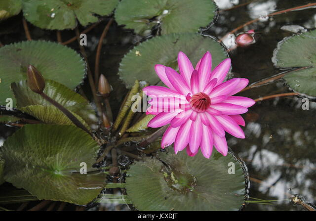 A bright lotus flower in full bloom - Stock Image