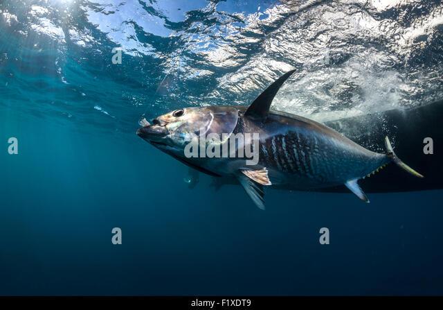 Thynnus stock photos thynnus stock images alamy for Blue fin fish