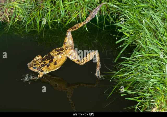Common Frog Rana temporaria leaping into pond UK - Stock Image