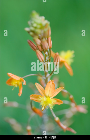 Bulbine frutescens or the snake flower in macro - Stock Image