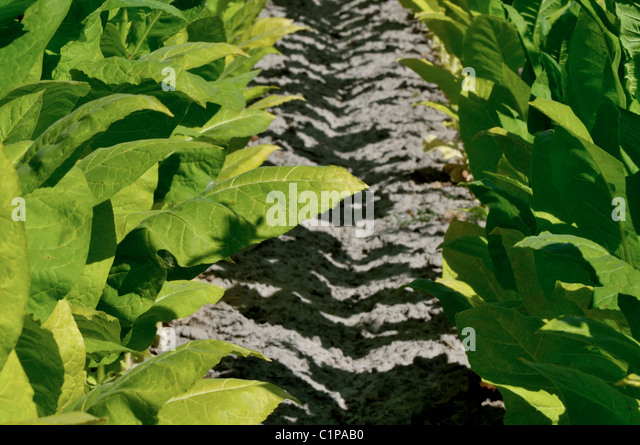 how to grow and harvest tobacco