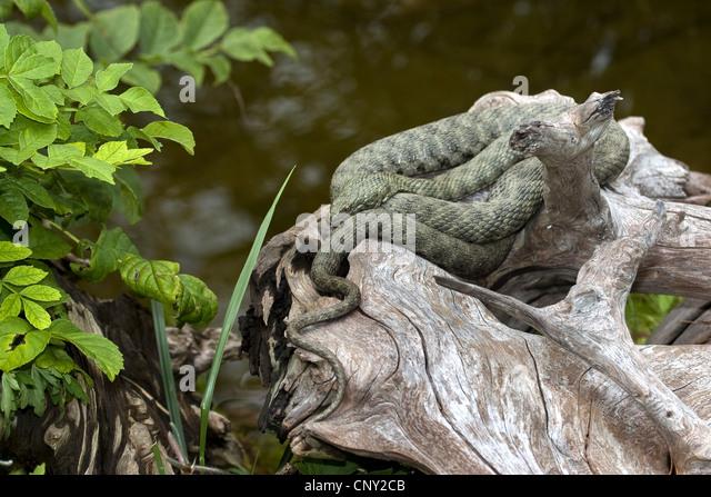dice snake (Natrix tessellata), lying on a branch, Germany - Stock Image