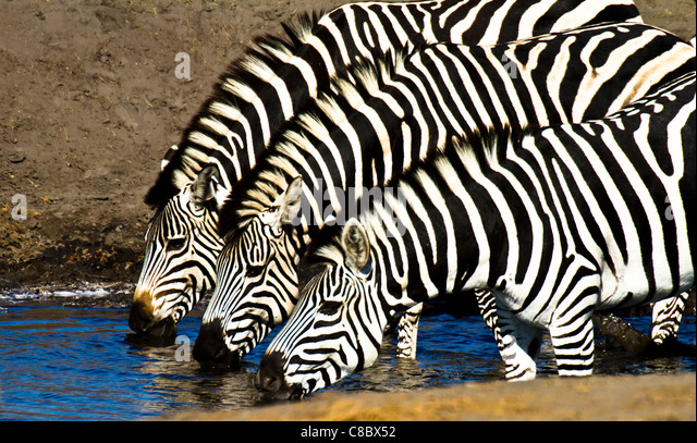Zebras drinking at the waterhole in Hwange National Park, Zimbabwe - Stock Image