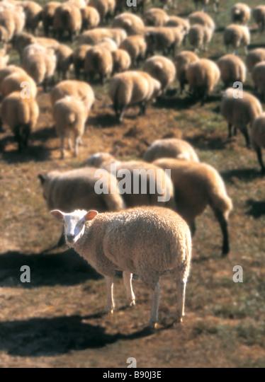 FL3135, BENJAMIN RONDEL; Pasture  sheep - Stock Image