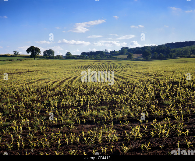 A view across a flourishing, fertile arable field in Cheshire during the early part of the growing season. - Stock Image