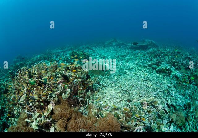 Damaged Coral Reef, Blast fishing, dynamite fishing, Raja Ampat, West Papua, Indonesia - Stock Image