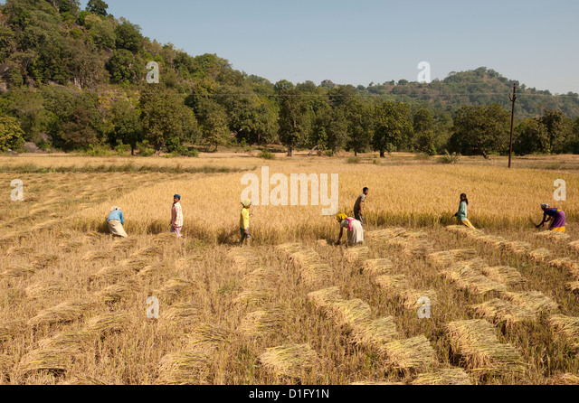 Villagers harvesting fields of rice, Orissa, India, Asia - Stock Image