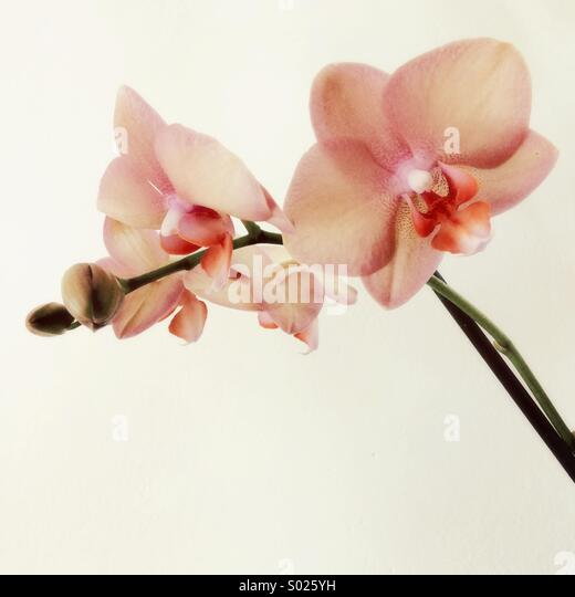 Pink orchid flowers - Stock Image