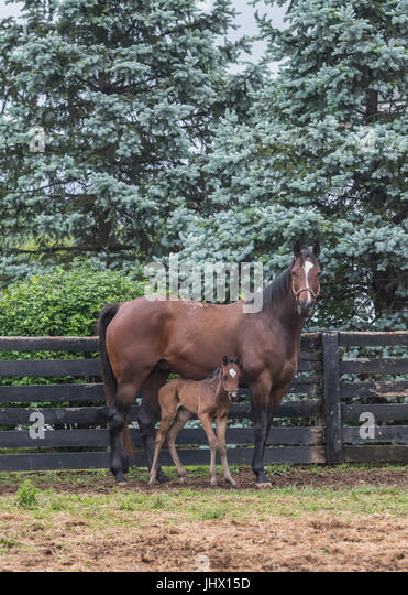 Foal Stands Close to Mare in Paddock along black fence - Stock Image