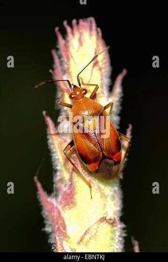 Capsid bugs (Deraeocoris ruber), brown morph on a grass ear, Germany - Stock Image