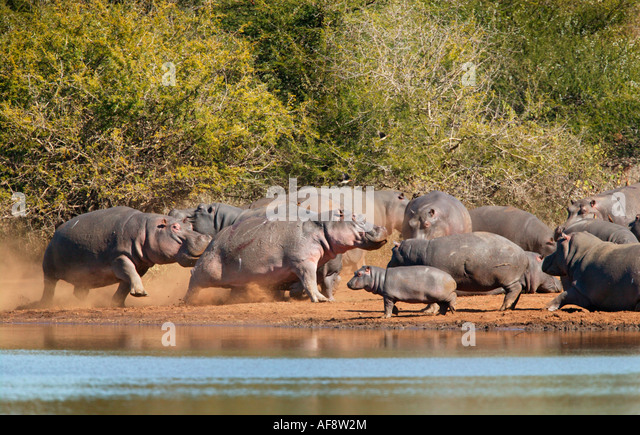 One hippo chasing another during an aggressive interaction - Stock-Bilder