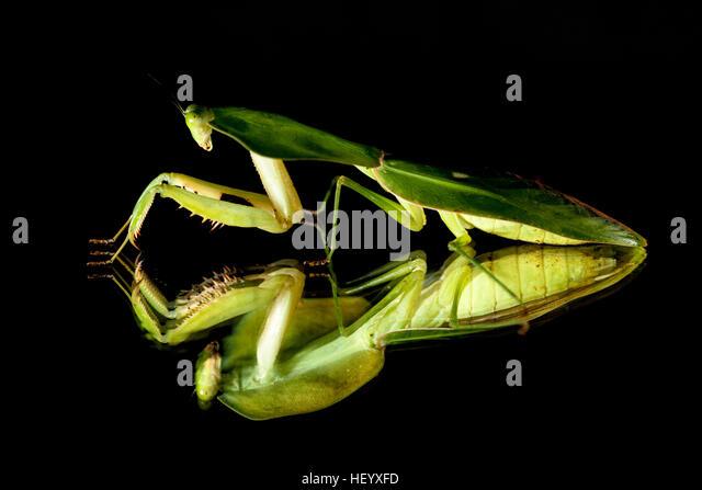 Green Leaf-mimic Praying Mantis - Laguna del lagarto Lodge, Boca Tapada; Costa Rica [Controlled Specimen] - Stock Image