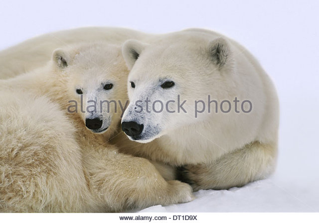 Hudson Bay Canada Polar bear with cub Ursus maritimus Hudson Bay - Stock Image
