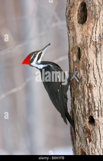 Female Pileated Woodpecker - Stock-Bilder