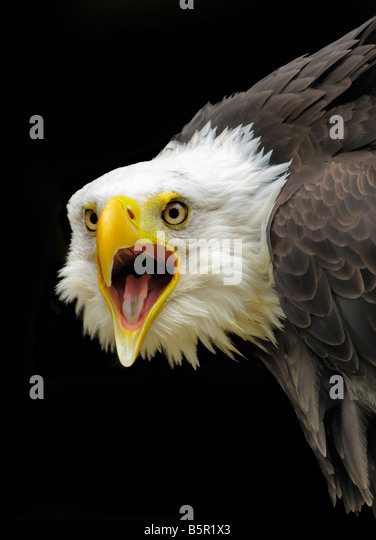 Head and shoulders of a captive 'bald eagle' against a black background. The beak is open. - Stock-Bilder