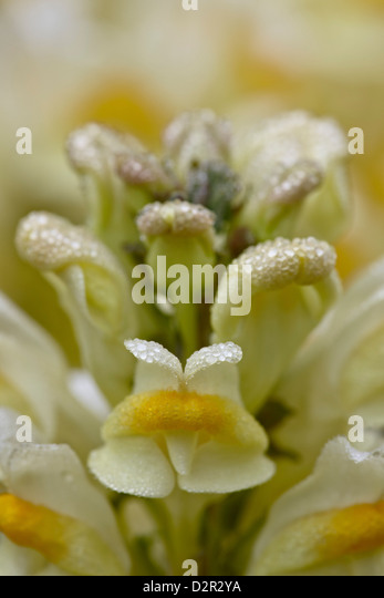 Butter-and-eggs (common toadflax) (yellow toadflax) (Linaria vulgaris), San Juan National Forest, Colorado, USA - Stock Image