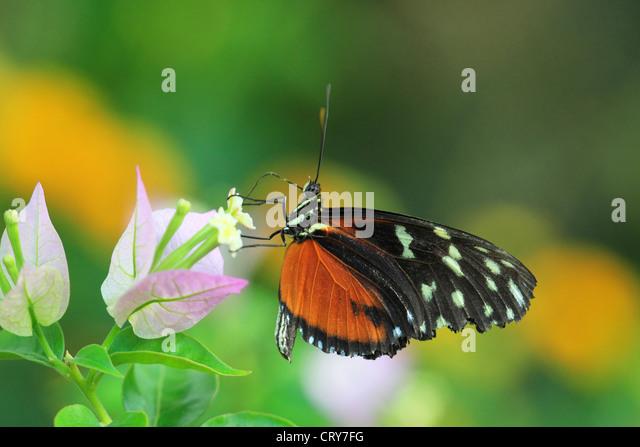 Postman Butterfly Heliconius melpomene - Stock Image