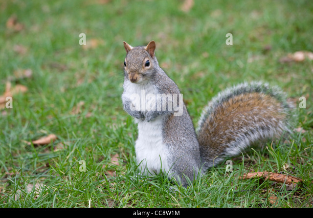 Grey Squirrel in Greenwich Park - Stock Image