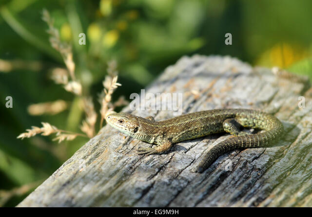 Common Lizard basking in the sun. London Wetland Centre UK - Stock Image